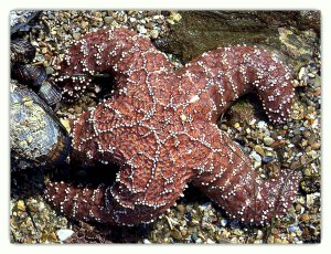 This starfish was on a rock out in the open, which made it easy to get a photo.